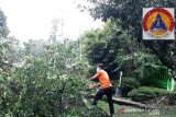 13 pohon di Agam tumbang diterjang angin kencang