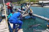 Seekor lumba-lumba terdampar di pesisir Sumbawa dikembalikan ke laut