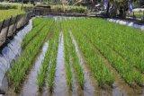 KKP dukung prospek wisata lahan budi daya ikan sistem minapadi