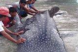 Nelayan  Rote Ndao selamatkan hiu paus yang terjerat jaring