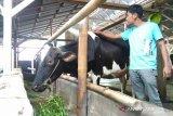 Pemkot Padang Panjang akan bagikan susu segar untuk 1.881 santri