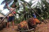 Pekerja menimbang tandan buah segar (TBS) kelapa sawit usai dipanen di Tebo Ilir, Tebo, Jambi, Selasa (22/9/2020). Gabungan Pengusaha Kelapa Sawit Indonesia (Gapki) mencatat nilai ekspor minyak sawit dan turunannya pada Juli 2020 meningkat 15 persen atau mengalami kenaikan sebesar 244 juta dolar AS, menjadi 1,86 miliar dolar AS dibandingkan bulan sebelumnya. ANTARA FOTO/Wahdi Septiawan/foc.