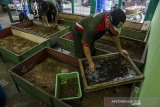 Petugas memilah Maggot (larva) dari Lalat Black Soldier Fly (BSF) yang dibudidaya di Tempat Pembuangan Sampah (TPS) Sementara 3R, Cimahi, Jawa Barat, Kamis (24/9/2020). Maggot Lalat BSF dibudidaya di TPS tersebut untuk solusi pengurangan dan pengurai sampah organik serta dijadikan sebagai pakan ternak ikan dan penghasil pupuk organik yang akan dibagikan secara gratis kepada warga kawasan tersebut. ANTARA JABAR/Novrian Arbi/agr