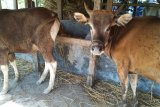 Sulsel fokus pengembangan sapi limosin di lima kabupaten