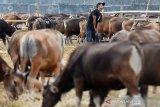 Seluruh peternak sapi di Pulpis diimbau ikut program AUTS
