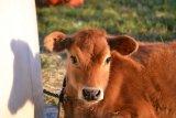 Mengenal susu Jersey dari sapi cokelat mungil