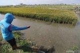 Petani memberi makan ikan nila di kawasan mina padi di Desa Putih, Kediri, Jawa Timur, Kamis (24/9/2020). Efisiensi pertanian yang memanfaatkan genangan air pada lahan padi untuk pembesaran ikan nila tersebut mampu menghemat pupuk kimia hingga 75 persen, terbebas dari gulma dan hama tikus, sekaligus padi dan ikan dapat dipanen bersamaan pada usia empat bulan. Antara Jatim/Prasetia Fauzani/zk.