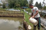 Kreatif, Petani di Agam manfaatkan hama padi sebagai pakan lele