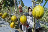 Wisata Petik Melon di Pamekasan