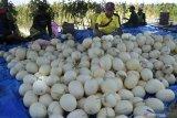 Petani menata buah melon saat panen di Desa Galis, Pamekasan, Jawa Timur, Minggu (27/9/2020). Selain dipasarkan ke sejumlah daerah, petani memanfaatkan areal tanaman melon miliknya sebagai agrowisata mandiri guna meningkatkan keuntungan. Antara Jatim/Saiful Bahri/zk.
