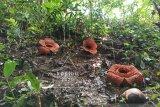 Tiga Rafflesia jenis kemumu mekar sempurna bersamaan