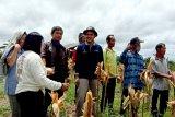 Poktan di Gumas berhasil tanam jagung hibrida secara manual
