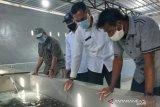 Kemenko Maritim mengembangkan Telong Elong jadi sentra budidaya lobster