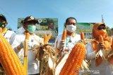 Stafsus Menteri Pertanian menghadiri panen raya jagung di Kendari