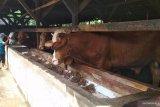 Kisah peternak sapi naik kelas, omzetnya kini capai miliaran rupiah