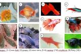 Ini tips pelihara ikan hias untuk pemula dari Dosen IPB University