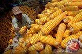 Pengiriman jagung asal Sulawesi Tenggara justru meningkat saat pandemi