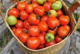 Penanganan produksi tomat melimpah perlu kerja sama OPD lain