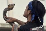 Pemimpin Padepokan Pecinta Oray Galak (POG) Rizki Disorder berlatih atraksi ular jenis King Cobra di Kadungora, Kabupaten Garut, Jawa Barat, Jumat (9/10/2020). Latihan tersebut dilakukan untuk meningkatkan fisik ular selama pandemi seiring menurunnya acara seni dan budaya akibat COVID-19. ANTARA FOTO/Candra Yanuarsyah/agr/wsj.