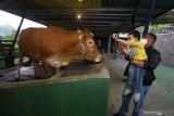 Pengunjung berinteraksi dengan hewan ternak sapi yang dibudi dayakan saat peluncuran awal Edu Eco Agrowisata De-Farm Integrated Outdoor Campus (IOC) Universitas Surabaya (Ubaya) di Trawas, Mojokerto, Jawa Timur, Sabtu (10/10/2020). Peluncuran awal Edu Eco Agrowisata tersebut menjadi alternatif wisata edukasi dan konservasi alam dimana pengunjung dapat belajar dan melihat secara langsung budi daya pertanian serta peternakan dengan tetap mematuhi protokol kesehatan pencegahan COVID-19. Antara Jatim/Moch Asim/zk