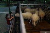 Pengunjung berinteraksi dengan hewan ternak domba yang dibudi dayakan saat peluncuran awal Edu Eco Agrowisata De-Farm Integrated Outdoor Campus (IOC) Universitas Surabaya (Ubaya) di Trawas, Mojokerto, Jawa Timur, Sabtu (10/10/2020). Peluncuran awal Edu Eco Agrowisata tersebut menjadi alternatif wisata edukasi dan konservasi alam dimana pengunjung dapat belajar dan melihat secara langsung budi daya pertanian serta peternakan dengan tetap mematuhi protokol kesehatan pencegahan COVID-19. Antara Jatim/Moch Asim/zk.