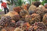 Produksi minyak sawit Indonesia tunjukkan pemulihan