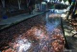 Permintaan ikan nila di Agam mulai meningkat