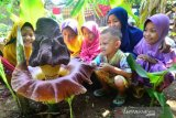 Bunga Suweg Mekat di Jepara