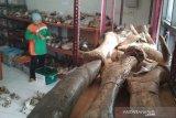 Tim Sangiran dilibatkan dalam konservasi fosil koleksi Museum Patiayam