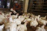 Pemerintah diminta tindak tegas perusahaan langgar Permendag harga jual panen ayam
