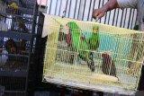 Petugas menunjukkan Nuri bayan (Eclectus roratus) saat ungkap kasus perdagangan satwa di Polres Pelabuhan Tanjung Perak Surabaya, Jawa Timur, Jumat (16/10/2020). Polres Pelabuhan Tanjung Perak Surabaya menangkap tersangka TH (42) atas kasus dugaan memperdagangkan satwa burung dan mengamankan sekitar 131 burung berbagai jenis beberapa diantaranya  Kakatua jambul kuning (Cacatua sulphurea), Kakatua putih (Cacatua alba) dan Nuri bayan (Eclectus roratus). Antara Jatim/Didik/Zk