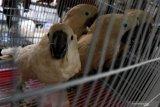 Kakatua putih (Cacatua alba) berada dikandangnya saat ungkap kasus perdagangan satwa di Polres Pelabuhan Tanjung Perak Surabaya, Jawa Timur, Jumat (16/10/2020). Polres Pelabuhan Tanjung Perak Surabaya menangkap tersangka TH (42) atas kasus dugaan memperdagangkan satwa burung dan mengamankan sekitar 131 burung berbagai jenis beberapa diantaranya  Kakatua jambul kuning (Cacatua sulphurea), Kakatua putih (Cacatua alba) dan Nuri bayan (Eclectus roratus). Antara Jatim/Didik/Zk