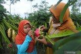 Wisatawan memetik buah naga di Kebun Buah Naga Desa Sumberasri, Purwoharjo Banyuwangi, Jawa Timur, Sabtu (17/10/2020). Wisatawan memilih berlibur di kawasan persawahan dan pedesaan yang jauh dari keramaian orang sebagai alternatif wisata edukasi di tengah pandemi COVID-19. Antara Jatim/Seno/zk.