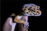 Pecinta reptil menunjukkan gecko atau tokek peliharaanya di Kendari, Sulawesi Tenggara, Minggu (18/10/2020). ANTARA FOTO/Jojon/pras.