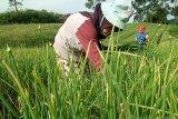Harga bawang merah tingkat petani di sentra produksi Alahan Panjang naik jadi Rp20.000 per kilogram