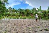 Petani Belitung mulai tanam jagung jelang tahun baru
