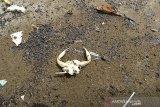 Ceceran minyak mentah yang mencemari pantai Balongan, Indramayu, Jawa Barat, Jumat (23/10/2020). Ceceran minyak berbentuk gumpalan kecil berwarna hitam yang diduga merupakan crude oil (minyak mentah) tersebut mencemari bibir pantai sepanjang 7 kilometer. ANTARA JABAR/Dedhez Anggara/agr