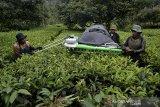 Petani menggunakan mesin petik saat menyortir daun teh di perkebunan PTPN VIII Dayeuhmanggung, Cilawu, Kabupaten Garut, Jawa Barat, Jumat (23/10/2020). PTPN VIII Jawa Barat - Banten dan PTPN IV Sumatera Utara yang memiliki kontribusi hampir 50 persen dari total produksi teh di Indonesia akan menargetkan pemasaran produk teh ke pasar domestik guna mengoptimalkan peluang di pasar modern maupun tradisional. ANTARA JABAR/Candra Yanuarsyah/agr