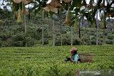 Petani menyortir daun teh di perkebunan PTPN VIII Dayeuhmanggung, Cilawu, Kabupaten Garut, Jawa Barat, Jumat (23/10/2020). PTPN VIII Jawa Barat - Banten dan PTPN IV Sumatera Utara yang memiliki kontribusi hampir 50 persen dari total produksi teh di Indonesia akan menargetkan pemasaran produk teh ke pasar domestik guna mengoptimalkan peluang di pasar modern maupun tradisional. ANTARA JABAR/Candra Yanuarsyah/agr