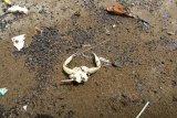 Ceceran minyak mentah yang mencemari pantai Balongan, Indramayu, Jawa Barat, Jumat (23/10/2020). Ceceran minyak berbentuk gumpalan kecil berwarna hitam yang diduga merupakan crude oil (minyak mentah) tersebut mencemari bibir pantai sepanjang 7 kilometer. ANTARA FOTO/Dedhez Anggara/pras.