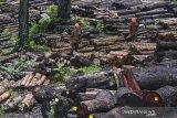 Petugas tenaga teknis Pengujian Kayu Bulat (PKB) mengukur dan menguji kayu Jati dan Mahoni gelondongan di Tempat Penimbunan Kayu (TPK) Desa Emplak, Kabupaten Pangandaran, Jawa Barat, Minggu (25/10/2020). Kayu yang dikelola oleh Perum Perhutani Kesatuan Pemangkuan Hutan (KPH) Ciamis telah bersertifikat standar internasional Forest Stewardship Council (FSC) diminati oleh pasar Europa dan Asia dengan target produksi sebesar 13.000 kubik kayu per tahun dari wilayah Bagian Kesatuan Pengelolaan Hutan (BKPH) Pangandaran dan Cijulang. ANTARA JABAR/Adeng Bustomi/agr