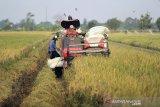 Petani memanen padi menggunakan mesin di Gegesik, Cirebon, Jawa Barat, Minggu (25/10/2020). Badan Pusat Statistik (BPS) memprediksi produksi padi pada 2020 sebesar 55,16 juta ton gabah kering giling (GKG) atau naik sebanyak 556,51 ribu ton atau 1,02 persen dibandingkan produksi di tahun 2019 yang sebesar 54,60 juta ton GKG disebabkan bertambahnya luas panen 108,93 ribu hektare. ANTARA JABAR/Dedhez Anggara/agr