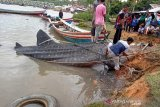 Whale shark  stranded in waters of Pesisir Selatan