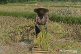 Dinas Pertanian Sukabumi prediksi surplus gabah panen 84 ribu ton pada 2020