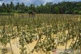 Tanaman terong rusak terendam banjir di Desa Sindangrasa, Kabupaten Ciamis, Jawa Barat, Selasa (27/10/2020). Banjir luapan sungai Ciptrahaji dan Cikaso mengakibatkan ratusan rumah warga di tujuh desa, Kecamatan Banjarsari dan Banjaranyar, terendam banjir dan beberapa jembatan putus diterjang derasnya air sungai. ANTARA JABAR/Adeng Bustomi/agr