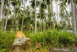 Peremajaan pohon kelapa dalam di Sigi