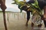 Penanaman manggrov di Parigi