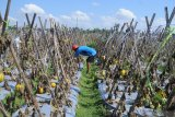 Petani memanen buah melon sisa musim tahun ini di Desa Galis, Pamekasan, Jawa Timur, Kamis (29/10/2020). Buah melon yang sebelumnya dipasarkan ke sejumlah daerah dan sebagian dijadikan lahan wisata petik buah itu, harganya turun dari Rp15 ribu menjadi Rp12 ribu per kg karena memasuki musim hujan. Antara Jatim/Saiful Bahri/zk