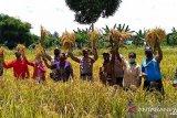 Petani lokal Teluk Wondama berhasil kembangkan padi ladang