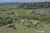 Sejumlah ternak sapi mencari makan di Bukit Teletubbies Sayang Heulang, Pameungpeuk, Kabupaten Garut, Jawa Barat, Sabtu (31/10/2020). Bukit Teletubbies yang berada satu kawasan dengan pantai Sayang Heulang tersebut menjadi ladang penggembalaan ternak sapi milik warga setempat dan sebagian tempat menjadi lahan pembuangan sampah. ANTARA JABAR/Candra Yanuarsyah/agr